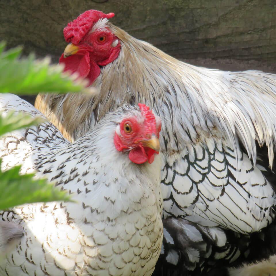 Juffrouw Lente buiten kippen